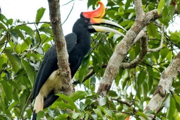 Животные Вьетнама с фото и описанием - Большой индийский калао или гомрай