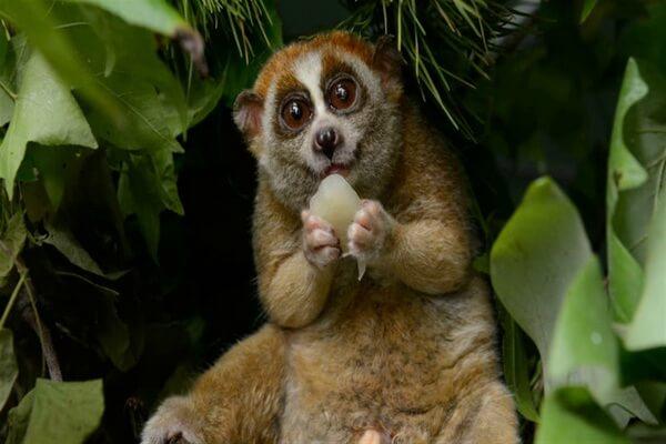 Животные Вьетнама с фото и описанием - Малый или карликовый лори