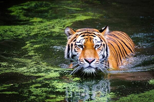 Животные Вьетнама с фото и описанием - Тигр