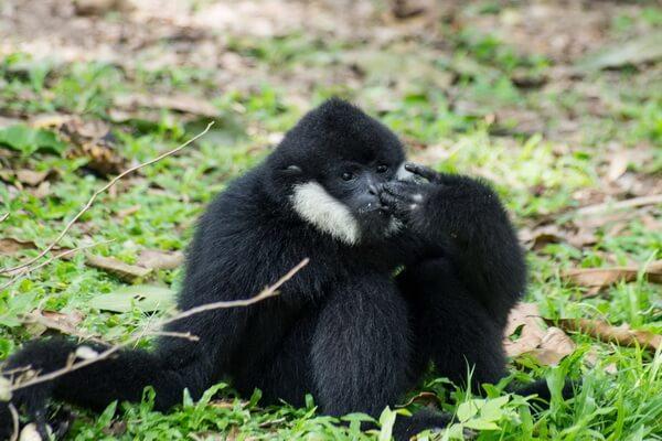 Животные Вьетнама с фото и описанием - Чёрный хохлатый или белощёкий гиббон