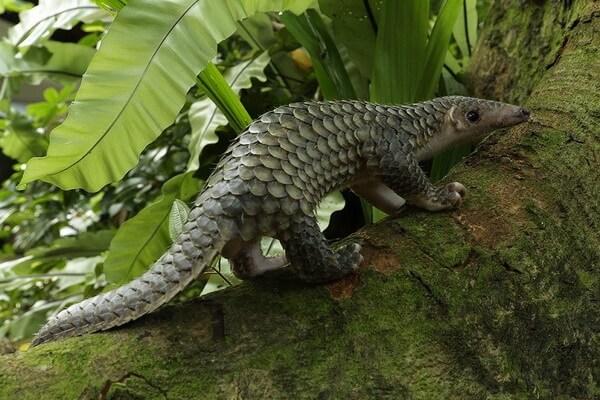 Животные Вьетнама с фото и описанием - Яванский ящер/панголин или индокитайский ящер