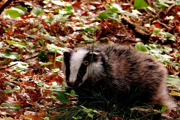 Животные Шотландии с фото и описанием - Барсук