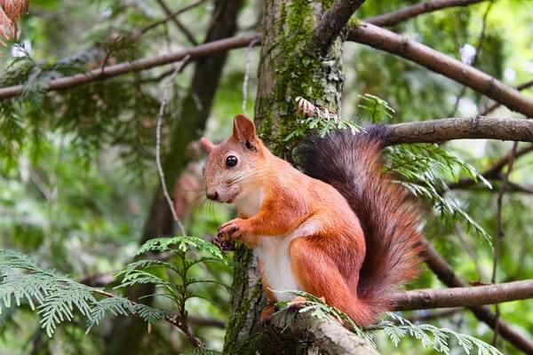 Животные Шотландии с фото и описанием - Обыкновенная белка