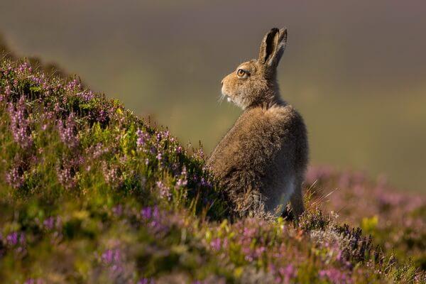 Животный мир Шотландии - Заяц-беляк летом