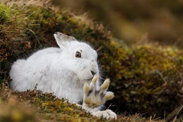 Животные Шотландии с фото и описанием - Заяц-беляк