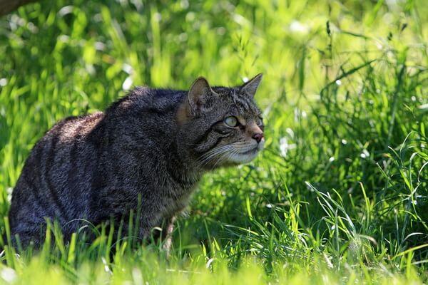 Животные Шотландии с фото и описанием - Шотландская дикая кошка
