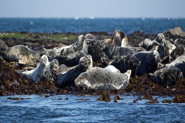 Животные Шотландии с фото и описанием - Длинномордый или серый тюлень