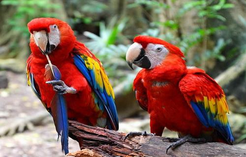 Ара - самые крупные попугаи