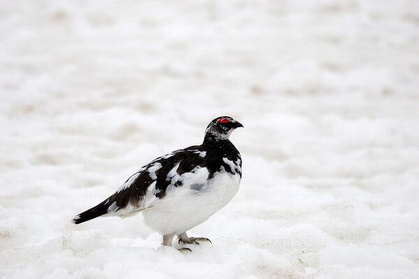 Арктические птицы с фото и описанием - Тундряная куропатка или тундрянка