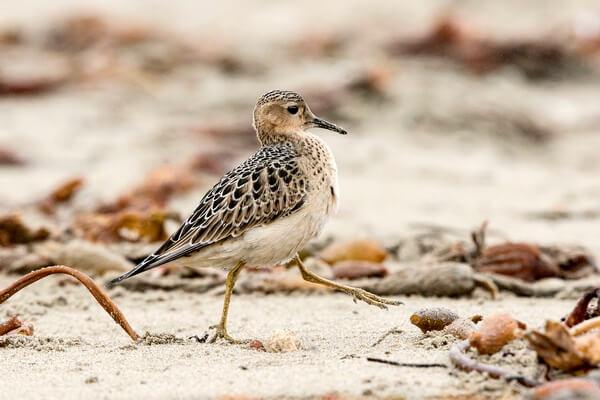 Арктические птицы с фото и описанием - Канадский песочник или желтозобик