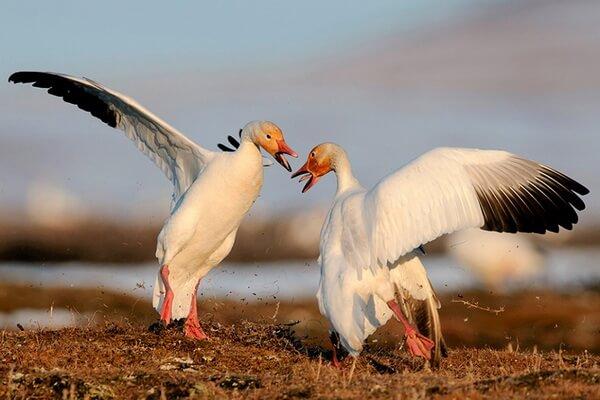 Арктические птицы с фото и описанием - Белый гусь