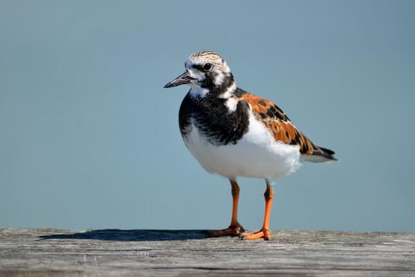 Арктические птицы с фото и описанием - Камнешарка