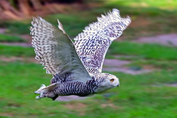 Арктические птицы с фото и описанием - Белая или полярная сова