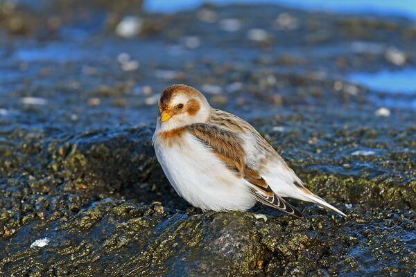 Арктические птицы с фото и описанием - Пуночка (снежный подорожник)