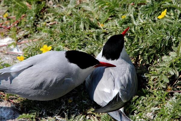 Арктические птицы с фото и описанием - Полярные крачки