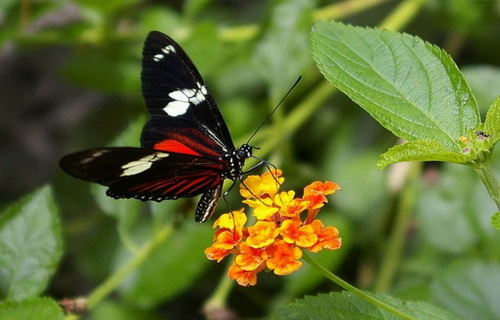 Бабочки Панамы