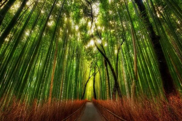 Особенности бамбуковой рощи Сагано