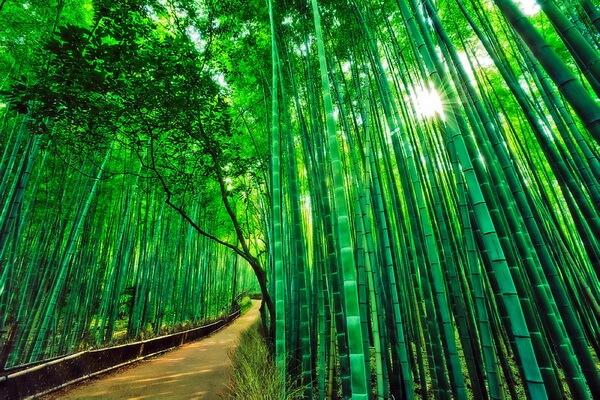 Красивые фото бамбукового леса Сагано в Японии