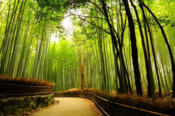 Где находится бамбуковый лес Сагано