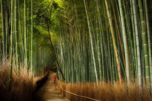 Фото бамбуковой рощи Сагано в Японии