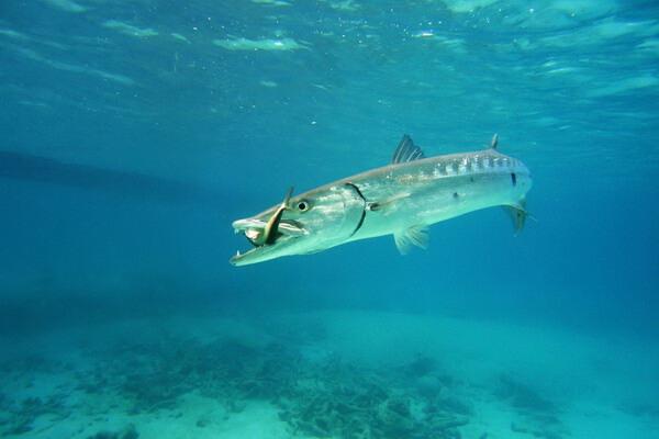 Съедобная или нет рыба барракуда