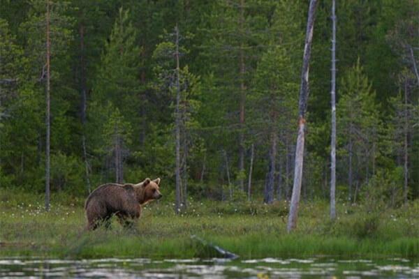 Фауна Греции - Медведи в национальном парке Пинд