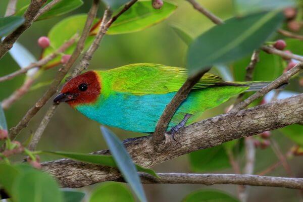 Птицы Коста-Рики - Зелёная танагра