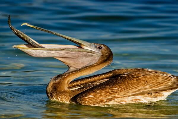 Птицы Коста-Рики с фото и описанием вида - Американский бурый пеликан