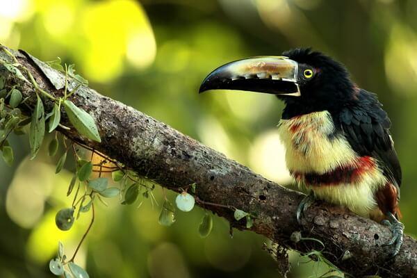 Птицы Коста-Рики с фото и описанием вида - Ошейниковый арасари