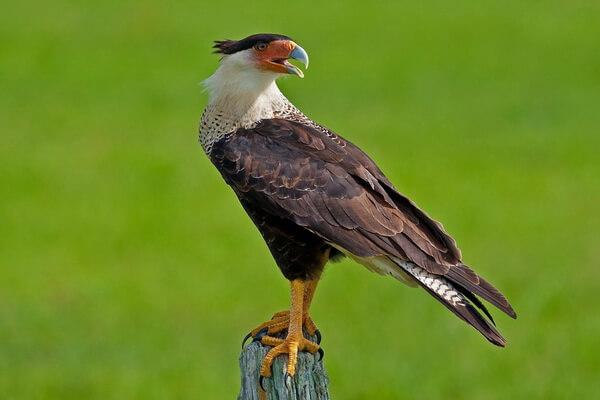 Птицы Коста-Рики с фото и описанием вида - Северная или хохлатая каракара