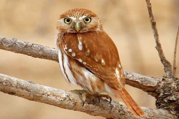 Птицы Коста-Рики с фото и описанием вида - Рыжий воробьиный сыч