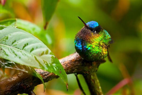 Птицы Коста-Рики с фото и описанием вида - Огненногорлый колибри