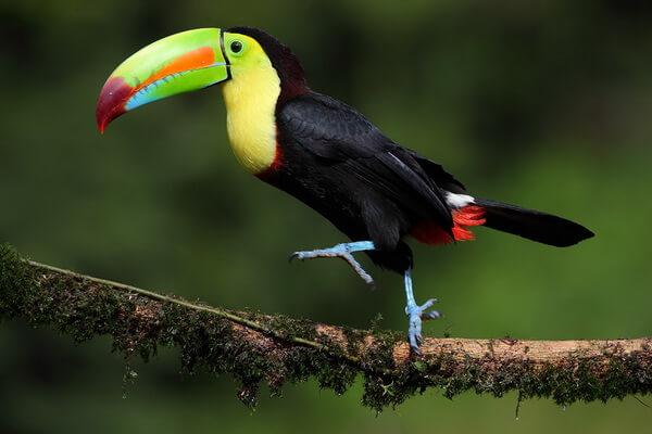 Птицы Коста-Рики - Радужный тукан