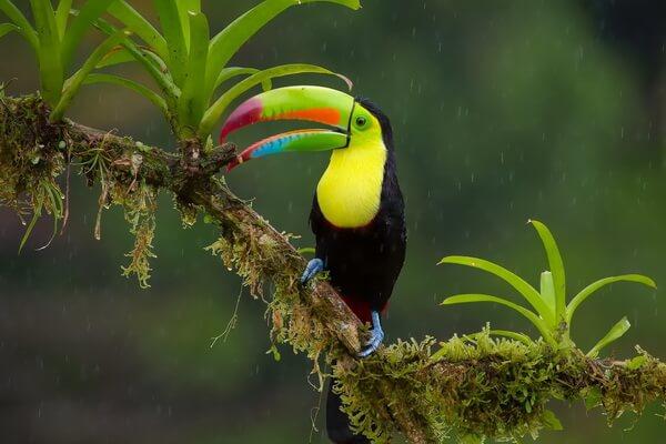 Птицы Коста-Рики с фото и описанием вида - Радужный тукан