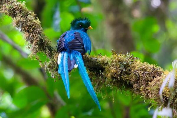 Птицы Коста-Рики с фото и описанием вида - Квезаль