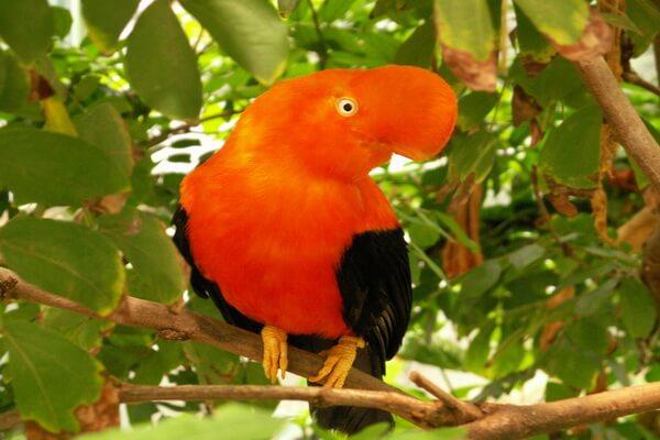 Птицы Анд - Андский скальный петушок