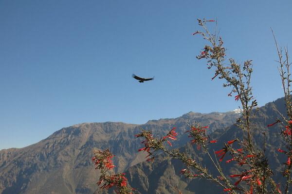 Птицы Анд - Андский кондор