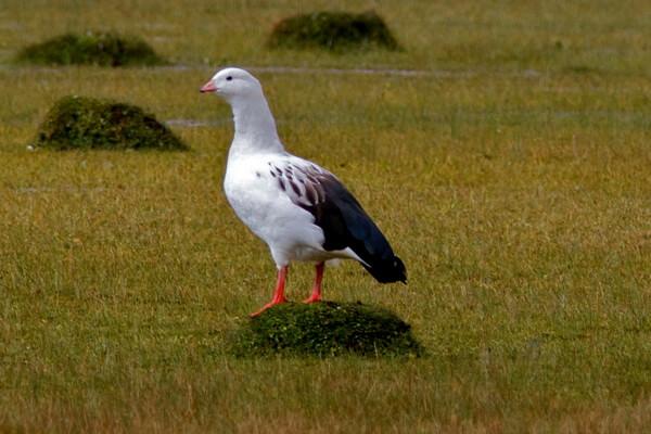 Птицы Анд - Андский гусь