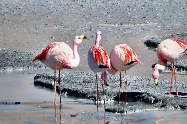 Птицы Анд - Фламинго