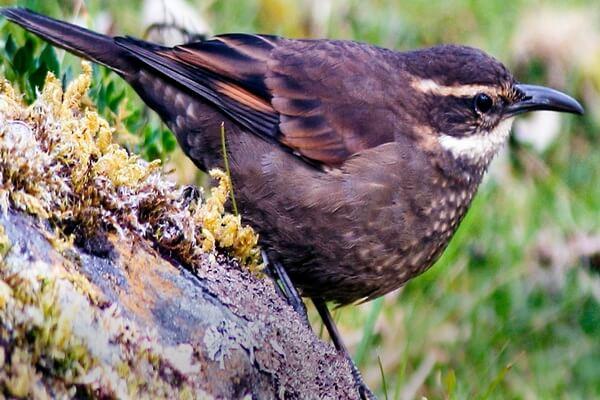 Птицы Анд - Королевские водяные печники