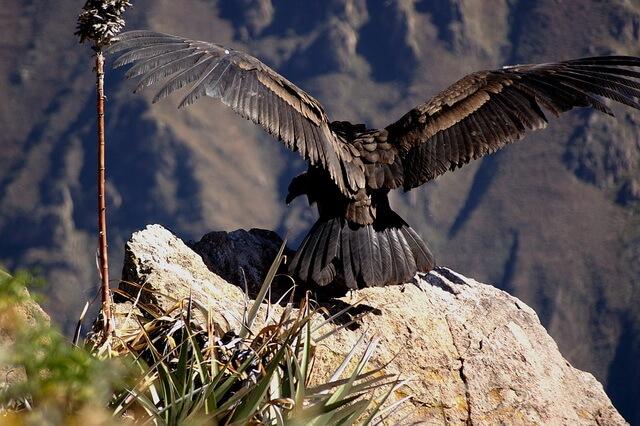 Уникальные птицы Анд Южной Америки