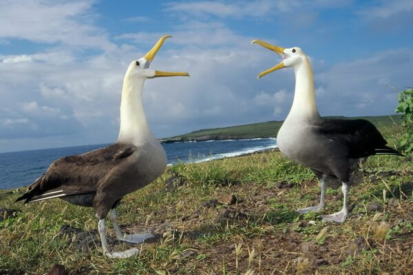 Птицы Галапагосских островов с фото и описанием - Галапагосский альбатрос