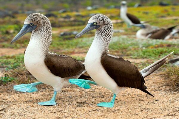 Птицы Галапагосских островов с фото и описанием - Голубоногая олуша