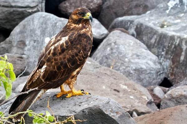 Птицы Галапагосских островов с фото и описанием - Галапагосский канюк или сарыч