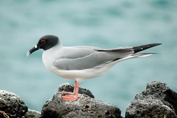 Птицы Галапагосских островов с фото и описанием - Галапагосская чайка