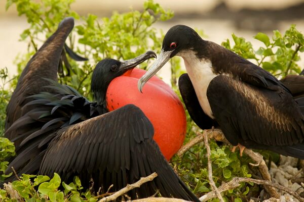 Галапагосские птицы - Самец (слева) и самка (справа) великолепного фрегата