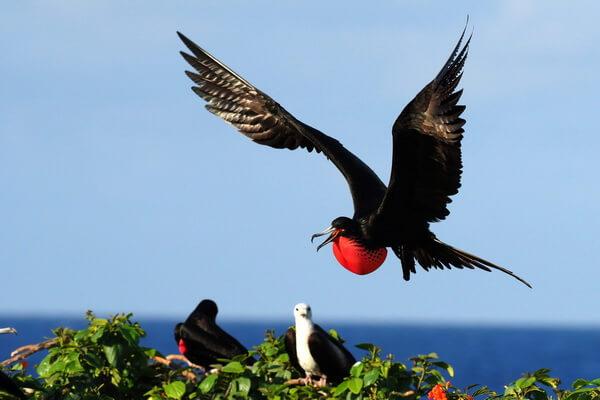 Птицы Галапагосских островов с фото и описанием - Великолепный фрегат