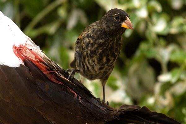Птицы Галапагосских островов с фото и описанием - Вьюрки Дарвина (остроклювый земляной вьюрок)