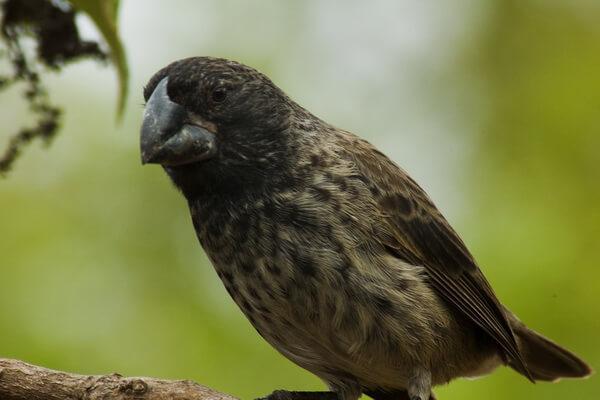 Птицы Галапагосских островов с фото и описанием - Вьюрки Дарвина (большой земляной вьюрок)
