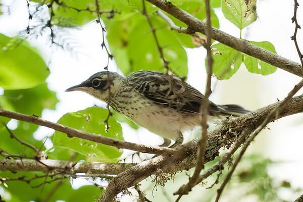 Птицы Галапагосских островов с фото и описанием - Многоголосый пересмешник